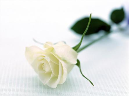 signification-rose-blanche.jpg